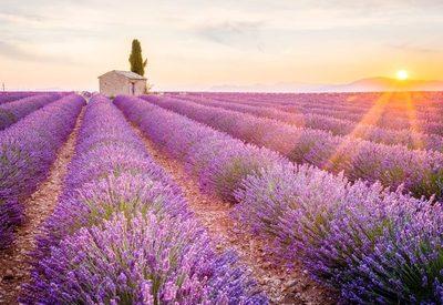 Busrundreise zur Lavendelblüte